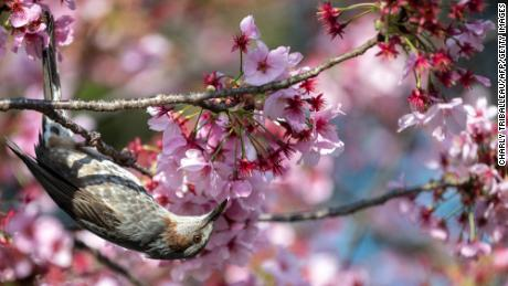 Then adverse great wisdom of the cherry blossoms at a park in Tokyo, Japan, on March 23.