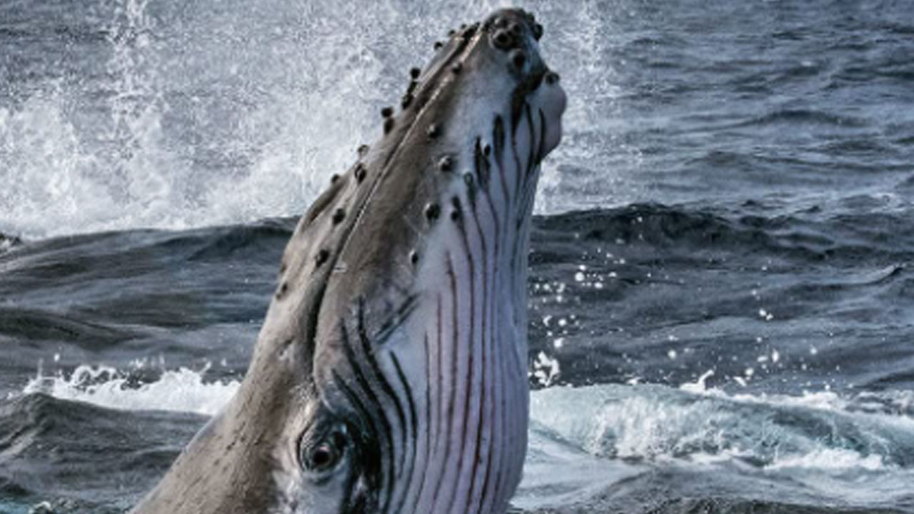 """The Secrets of Whales on Disney +: """"These animals are a big part of us"""" - Actus Ciné"""