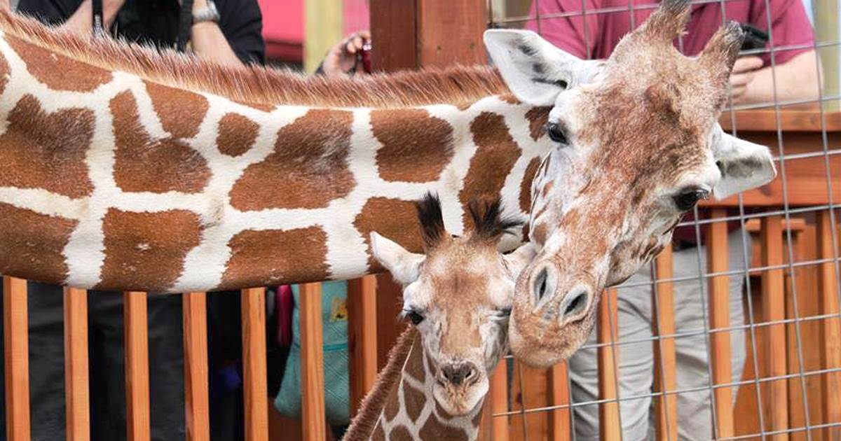 April the giraffe, who went viral with 2017 birth, is dead