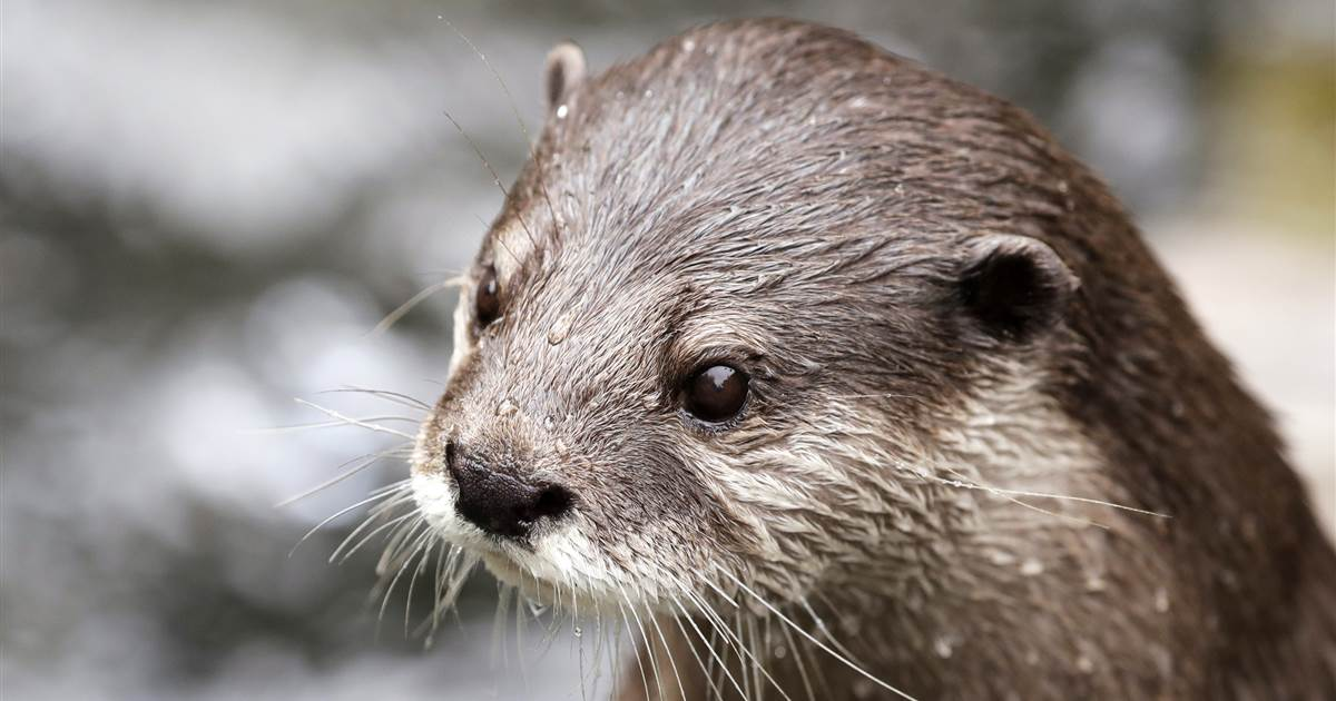 Otters at Georgia Aquarium test positive for Covid-19