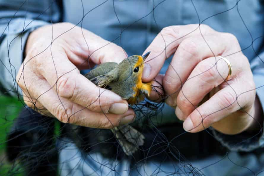 A robin is freed from a net by a member of the Committee Against Bird Slaughter