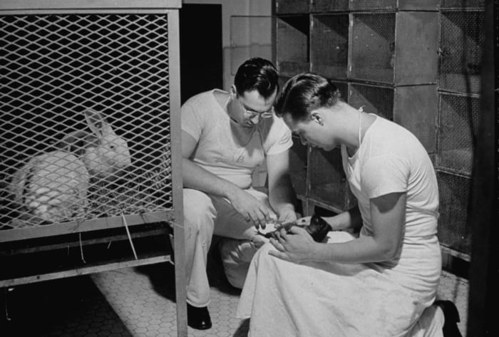 A guinea pig is inoculated to determine the type of pneumonia and to aid in the diagnosis of other infectious diseases on the USS Solace, Navy Hospital Ship, c.  1942.