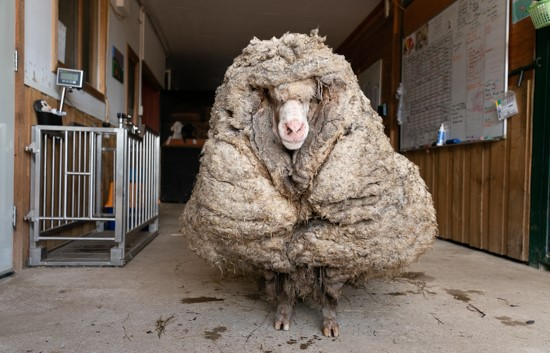 A Sheep In Super Heavy Clothing! 80 Pounds Of Pure Wool Burden Lone Creature