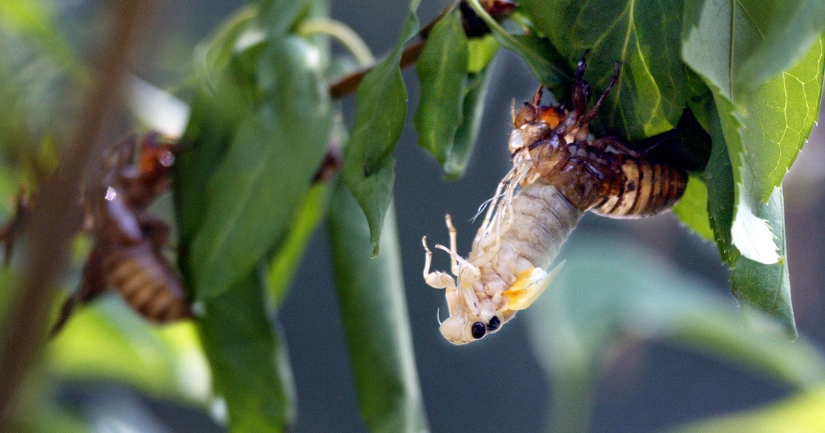 Billions of winged insects emerging in the U.S.