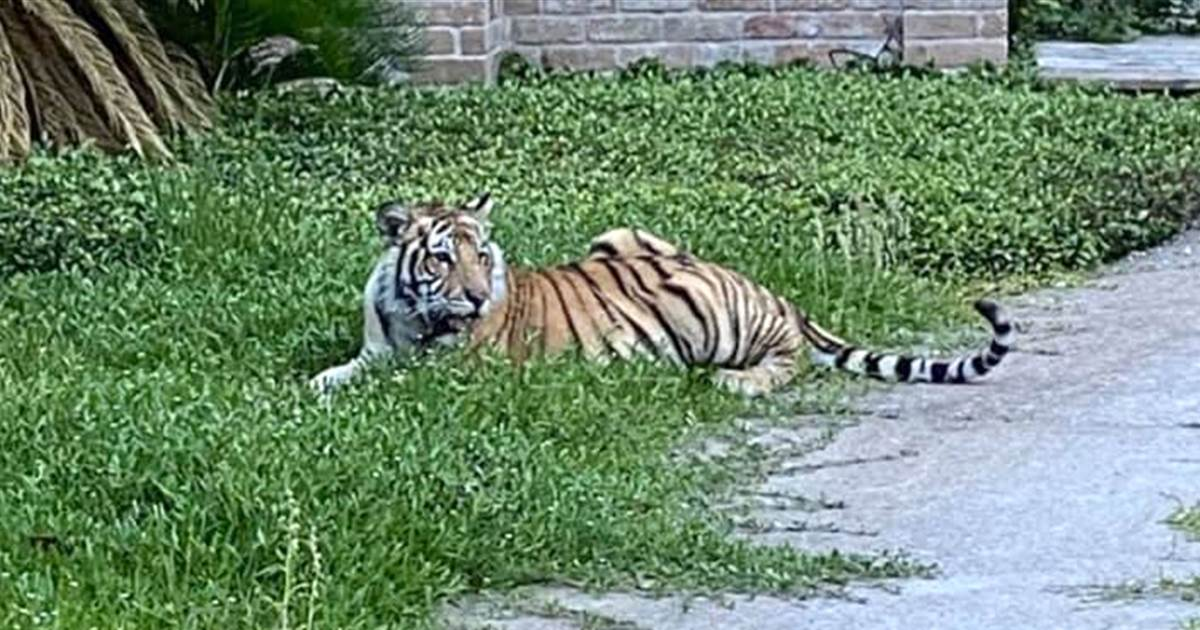 Man arrested after Houston tiger seen on lawn, but whereabouts of animal not known