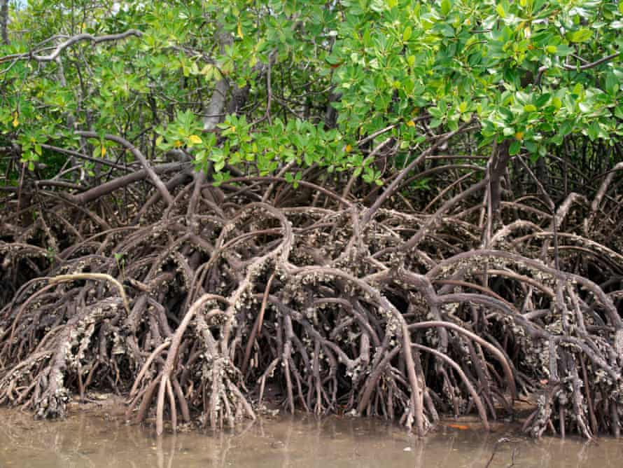 The barnacle-encrusted roots of mangrove trees on Pate Island part of the Lamu archipelago.