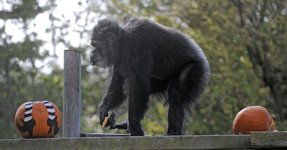 Cobby, oldest male chimp in a U.S. zoo, dies at 63
