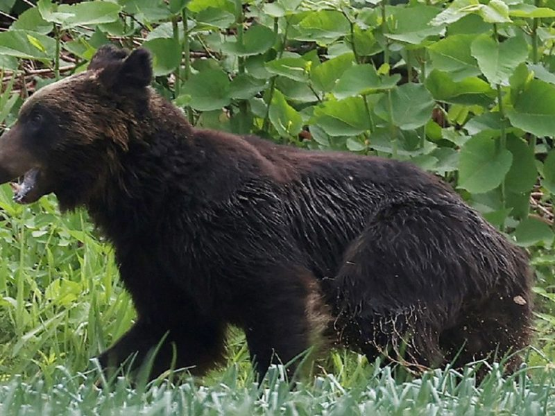 Bear shot dead in Japan after rampage through military base, airport injures four