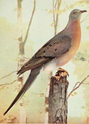 """Engraved drawings of the Passenger Pigeon (Ectopistes migratorius), taken from the book """"Birds and all nature"""" by Charles C. Marble and William Kerr Higley, 1896. Courtesy Internet Archive. (Photo by Smith Collection / Gado / Getty Images)"""