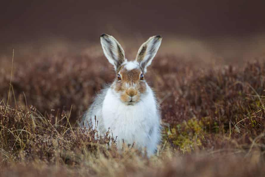 The mountain hare (Lepus timidus)