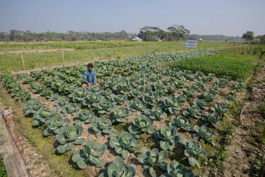 growing crops on salty soil, Bangladesh
